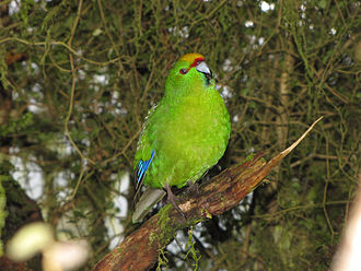 Yellow-crowned parakeet - Yellow-crowned parakeet near Lake Matheson, New Zealand