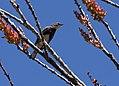 Yellow-rumped Warbler (Audubon's) (33861657962).jpg