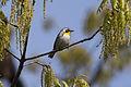 Yellow-throated Warbler (Setophaga dominica) (3204314410).jpg