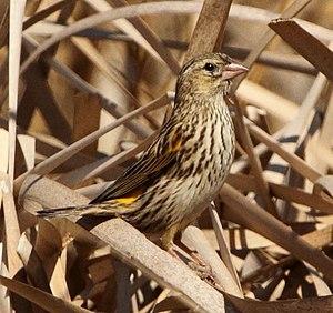 Yellow bishop - Female in KwaZulu-Natal.