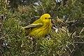 Yellow Warbler - Point Pelee - Ontario 11052017-FJ0A4785 (25943003148).jpg