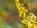 Yellow blossom (9029218588).jpg