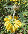Yellow flower botanic garden.jpg