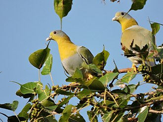 Yellow-footed green pigeon - Image: Yellow footed pigeon, Mohali Phase 8, Nature park, Punjab, India
