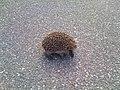 Young hedgehog on bicycle path.jpg