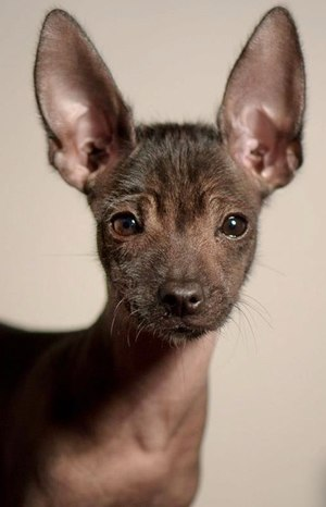 Mexican Hairless Dog - A toy Xoloitzcuintle