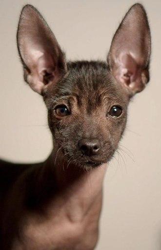 Mexican Hairless Dog - A toy Xoloitzcuintle