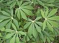 Yuca (Manihot esculenta).jpg