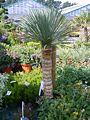 Yucca rostrata 2.jpg