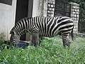 Zebra from Bannerghatta National Park 8640.JPG