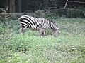 Zebra from Bannerghatta National Park 8696.JPG
