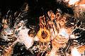 Zebra mussel filtering (8740859367).jpg