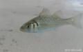 Zeebaars (Dicentrarchus labrax).png