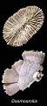ZooKeys - Dasmosmilia lymani.jpeg