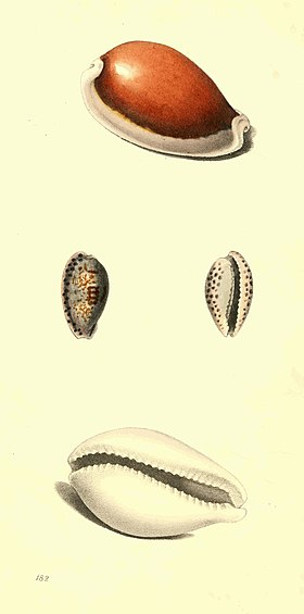 Zoological Illustrations Volume III Plate 182.jpg