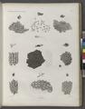 Zoologie. Polypes. Flustres (NYPL b14212718-1268624).tiff