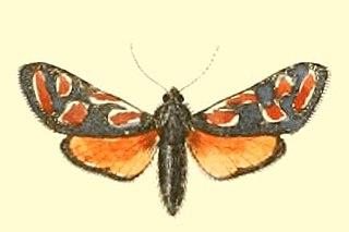 <i>Zygaena orana</i> Species of moth