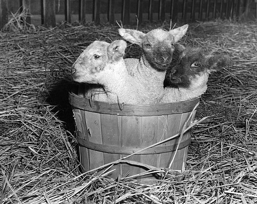 """A Basket full of Wool"" (6360159381)"