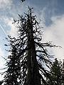 """Storm Tree"" (5143597599).jpg"