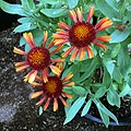 'Arizona Red Shades' gaillardia IMG-8463.jpg