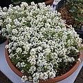 'Giga White' alyssum IMG 5053.jpg