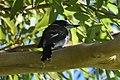 (1)Pied butcherbird.jpg