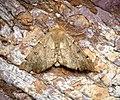 (1920) Scalloped Hazel (Odontopera bidentata) (33930879883).jpg