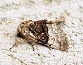 (2425) Nut-tree Tussock (Colocasia coryli) (13543675285).jpg