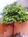 Árbol de Naranjo - Nuevo Laredo, Tamaulipas, México..jpg
