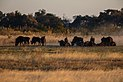 Ñus azules (Connochaetes taurinus), delta del Okavango, Botsuana, 2018-07-31, DD 18.jpg
