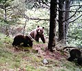 Óssa amb dos cadells al Parc Natural de l'Alt Pirineu.jpg