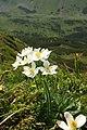 Анемона нарцисолиста (Anemona narcissiflora).jpg