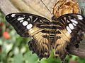 Бабочка на выставке НБС 4.jpg