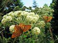 Бабочки в парке Белокурихи.jpg