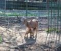 Берберска овца - Зоо Скопје (2).jpg