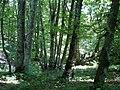 Буковий ліс на Каратау.jpg