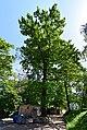 Віковий дуб-красень DSC 0873 stitch.jpg
