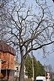 Горіх чорний у Хмельницькому по вулиці Пилипчука, 51. Фото 1.jpg