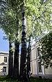 Група вікових дерев тополі білої 16.jpg