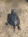 Европейская болотная черепаха.14.jpg