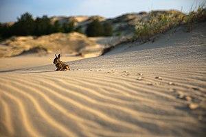 Зайченя Олешківскі піски Фото Адамчук.jpg