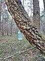 Збір березового соку в лісі.jpg