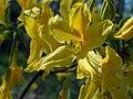 Квітка рододендрона (Rhododendron luteum) на межі заказника Волосне.jpg