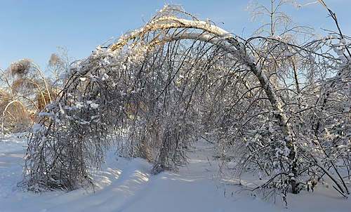 Ice-covered birch, after a sleet. A natural phenomenon, January, 2011, Moscow Region, Ramensky area, village Hripan.