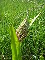 Орхідея - пальчатокорінник м'ясочервоний в окол. с. Олексіївка.jpg