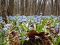 Пролески сибирские в лесу НПП Гомольшанский лес в начале апреля.jpg