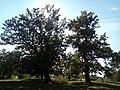"""Розлогі дуби неподалік """"Поліського природного заповідника"""" 05.jpg"""