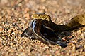 Сива водна змия (Natrix tessellata).jpg
