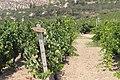 Сорт Mandilari. Винодельня Boutari. Skalani. Iraklion. Crete. Creece. Июнь 2013 - panoramio.jpg