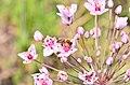 Суцвіття Сусаку зонтичного (Butómus umbellátus) під час цвітіння.jpg